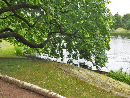 Horse chestnut tree branch overhanging the edge of a lake