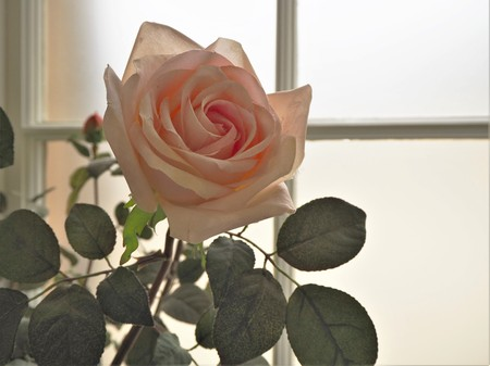 Backlit pink rose and bud in a conservatory window