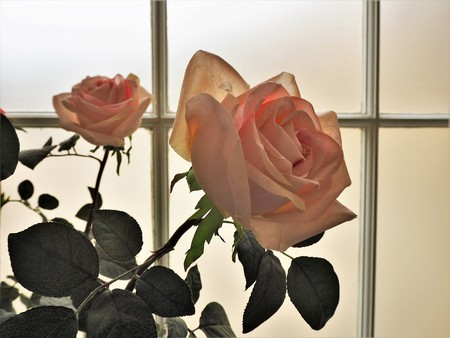 Two backlit pink roses in a conservatory window