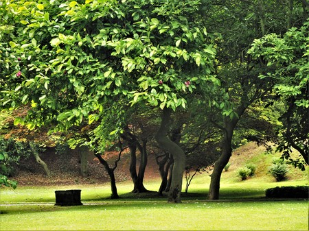 Group of magnolia trees in a park in summer