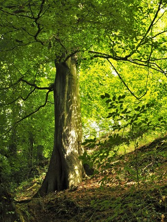 Sunlight shining through the leaves of a beech tree on a hillside