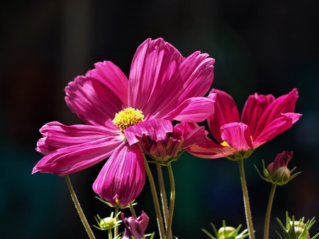 Bright pink Cosmos flowers against a  black background Stock Photo