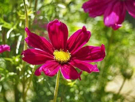 Bright pink Cosmos flower with a yellow centre