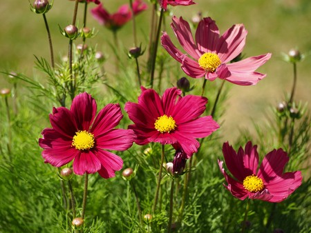Fresh and faded pink Cosmos flowers in a garden Stock Photo