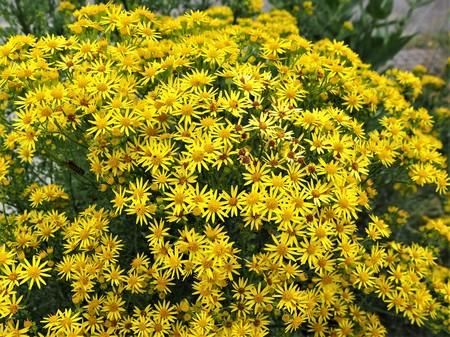 Bright yellow flowers on a common ragwort plant (Jacobaea vulgaris)