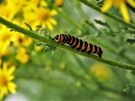 Caterpillar of the Cinnabar moth (Tyria jacobaeae) on its food plant, the common ragwort Stock Photo