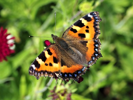 Small tortoiseshell butterfly on a food plant with open wings Stock Photo