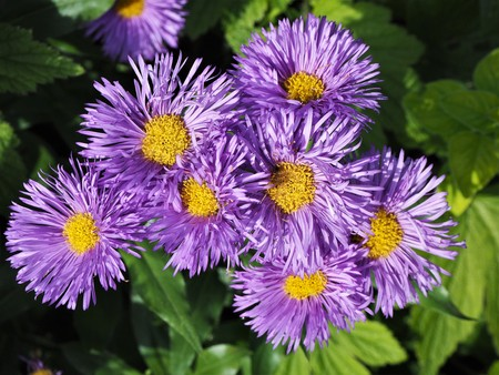 Beautiful purple New England aster flowers in full bloom Stock Photo