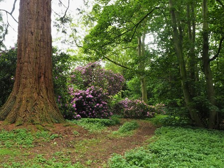 Flowering rhododendron bush and a redwood tree trunk in a wood Stock Photo