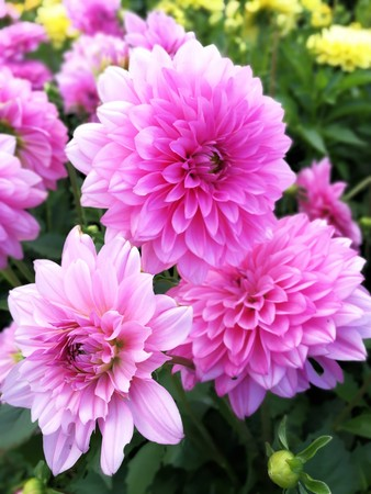 Beautiful pink dahlias in a mixed flower bed Stock Photo