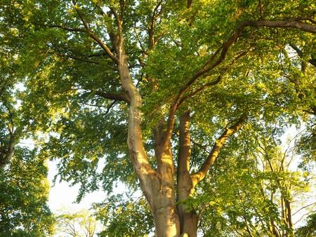 Beautiful sunlight shining on a beech tree
