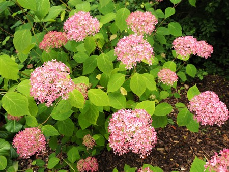 Hydrangea serrata bush with pink flowers and bright green leaves