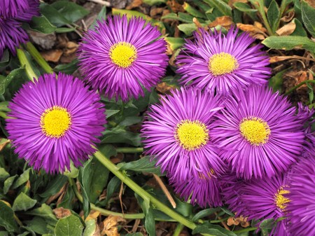 Erigeron Sommerabend (fleabane) flowers with purple petals and yellow centres Stock Photo