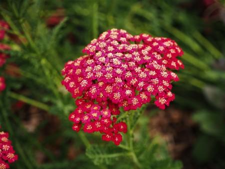 Yarrow flower head in a garden, variety Red Velvet