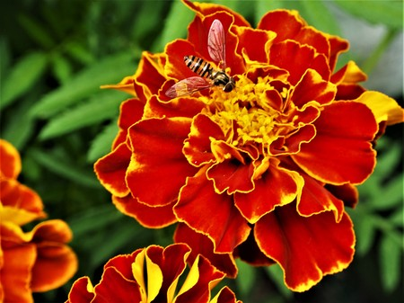 Bright French marigold flowers with a pollinating hoverfly Stock Photo