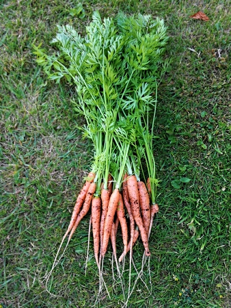 Baby carrots, variety Nantes, with green leaves attached laid on a green grass lawn