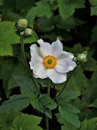 Beautiful white Japanese anemone flower and buds