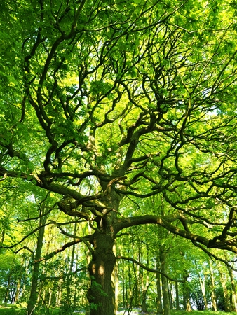 Oak tree with spreading branches and fresh green spring leaves Stock Photo