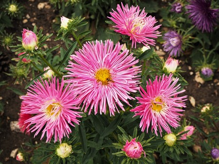Pretty pink New England asters with buds and green leaves Stock Photo