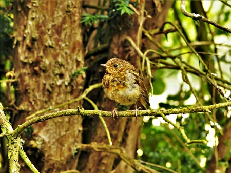 Juvenile European robin (Erithacus rubecula) perched on a small tree branch Stock Photo