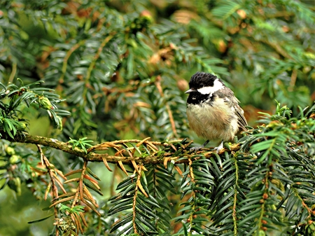 Coal tit (Periparus ater) perched on a yew tree branch Stock Photo