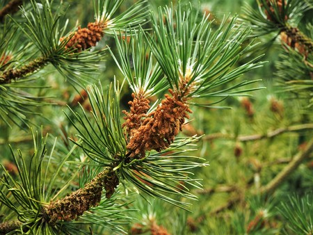 Brown flower clusters on the branches of a pine tree in spring Stock Photo