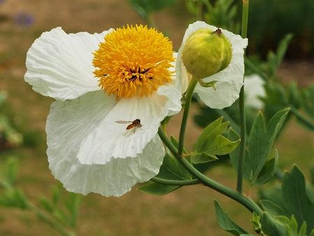 Delicate white poppy flower and bulb, with a visiting hoverfly