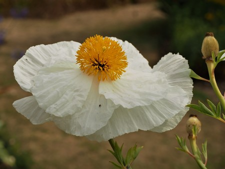 Delicate white poppy flower and seed heads closeup Stock Photo