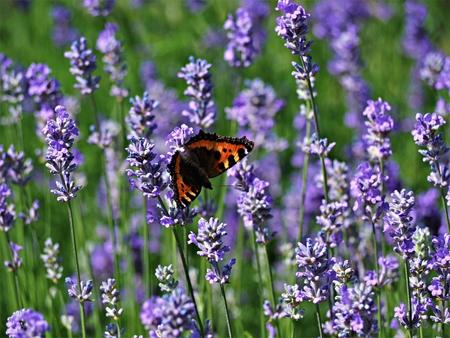 Small tortoiseshell butterfly on a lavender flower in a garden