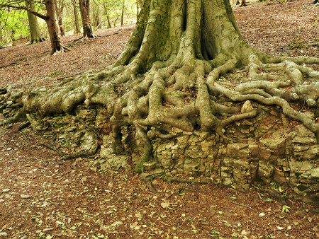 Beech tree roots growing over a limestone outcrop in a wood Stock Photo