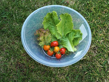 Home grown salad leaves and red tomatoes in a plastic bowl on a green grass lawn
