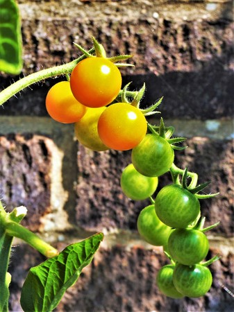 Sungold tomatoes ripening on a truss in front of a brick wall Stock Photo