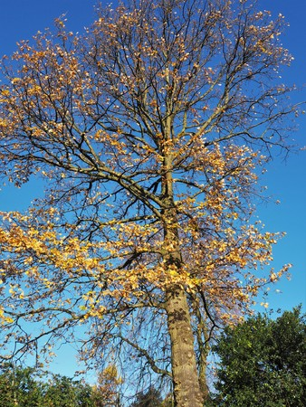 Tree which has lost most of its leaves in autumn catching bright sunlight against a clear blue sky Stock Photo