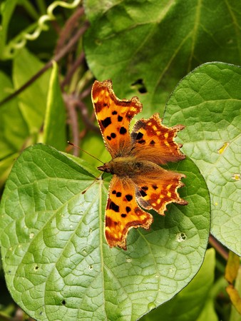 Comma butterfly (Polygonia c-album) on a green leaf with open wings Stock Photo