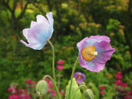 Two pink poppy flowers and a bud in a garden Stock Photo