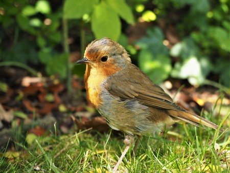European robin (Erithacus rubecula) on the ground in a garden in dappled sunlight