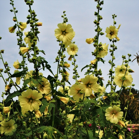 Yellow hollyhock (Alcea) flowers on tall stems in a garden Stock Photo