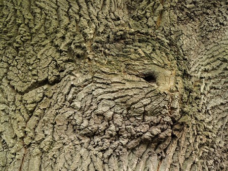 Pattern in the bark of an ancient oak tree Stock Photo