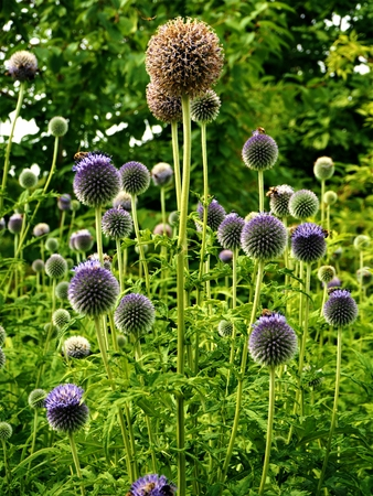 Purple globe thistle (Echinops) flowers and seed heads in a garden