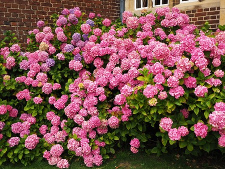 Hydrangea bush laden with masses of pink flowers against the wall of a house Stock Photo