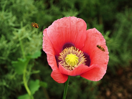 Closeup of a red poppy flower with approaching hoverfly pollinators