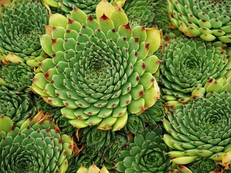 Green succulent plants growing densely in a pot