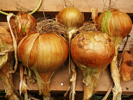 Garden grown onions drying on a wooden bench Stock Photo