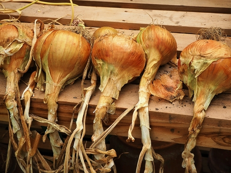Home grown onions drying on a wooden bench