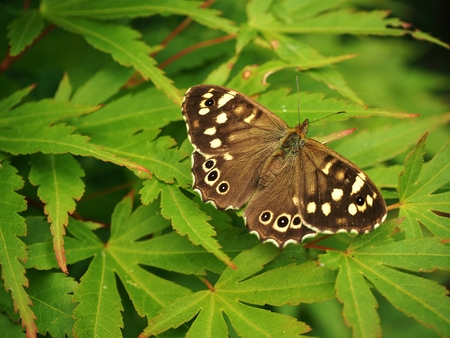 Speckled wood butterfly (Pararge aegeria) on a leaf with open wings Stock Photo
