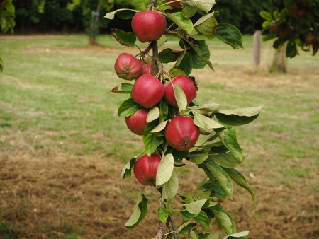 Red apples developing on a hanging tree branch