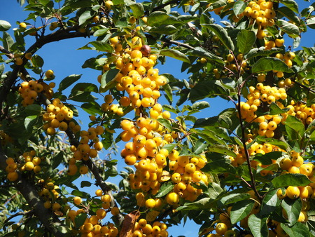 Dense bright yellow crab apples on a tree with a blue sky