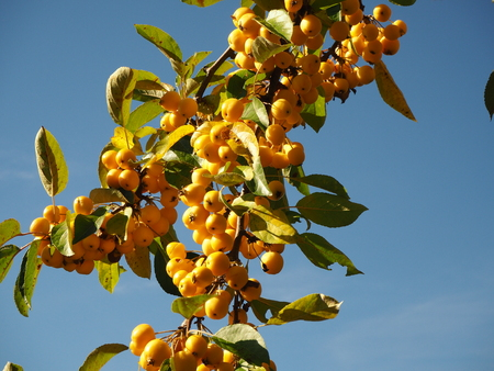 Dense yellow crab apples ripening on a branch against a blue sky