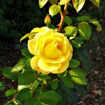 Closeup of a beautiful yellow rose in a garden with a bud and green leaves Stock Photo