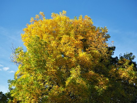 Beautiful yellow autumn foliage on a beech tree against a blue sky Stock Photo